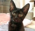 A picture of #ET02947: Minnie a Domestic Short Hair black