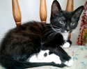 A picture of #ET02948: Clyde a Domestic Short Hair black/white