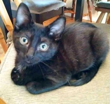 [picture of Mickey, a Domestic Short Hair black\ cat]