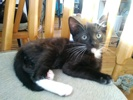 A picture of #ET02950: Bonbon a Domestic Short Hair black/white