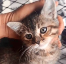 [picture of Brackenfur, a Domestic Short Hair brown tabby\ cat]