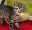 A picture of #ET02952: Silvermist a Domestic Short Hair brown tabby