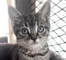 [picture of Silvermist, a Domestic Short Hair brown tabby\ cat]