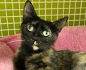 A picture of #ET02953: Daenerys a Domestic Short Hair tortie