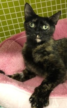 [picture of Daenerys, a Domestic Short Hair tortie cat]