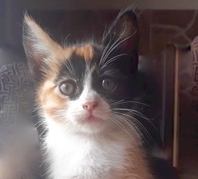 [picture of Sansa, a Domestic Short Hair calico\ cat]