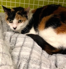 [another picture of Mom Magic, a Domestic Short Hair calico\ cat]