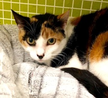 [picture of Mom Magic, a Domestic Short Hair calico\ cat]