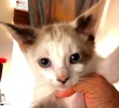 A picture of #ET02961: Tristket a Siamese snowshoe