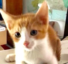 [picture of Funyun, a Domestic Short Hair orange/white cat]