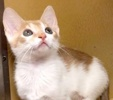 A picture of #ET02963: Brightheart a Domestic Short Hair white/orange