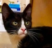 A picture of #ET02964: Mr Pepper a Domestic Short Hair black/white