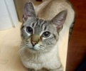 A picture of #ET02965: Phoebe a Siamese lynx point