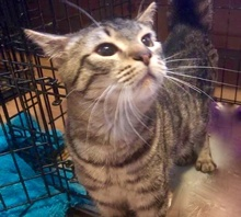 [picture of Maxx, a Hemmingway Polidactyl gray tabby\ cat]