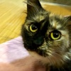A picture of #ET02968: Angelina a Ragdoll Mix tortie