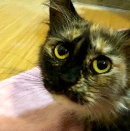 [picture of Angelina, a Ragdoll Mix tortie\ cat]