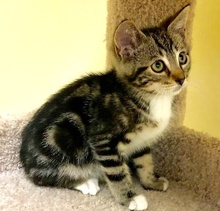[another picture of Orbit, a Domestic Short Hair brown tabby/white\ cat]