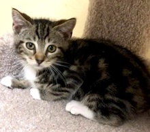 [picture of Orbit, a Domestic Short Hair brown tabby/white\ cat]