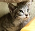 A picture of #ET02970: Mascon a Domestic Short Hair silver