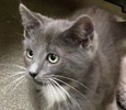 A picture of #ET02971: Eclipse a Domestic Short Hair blue/white