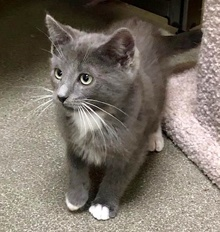 [another picture of Eclipse, a Domestic Short Hair blue/white\ cat]