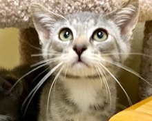 [picture of Saros, a Domestic Short Hair silver/white\ cat]