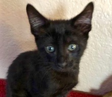 A picture of #ET02974: Charlie a Domestic Short Hair black