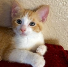 [another picture of Milo, a Domestic Short Hair orange/white\ cat]
