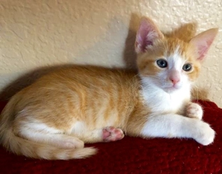 [picture of Milo, a Domestic Short Hair orange/white cat]
