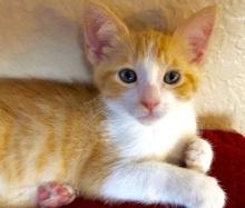 [picture of Milo, a Domestic Short Hair orange/white\ cat]
