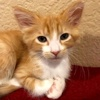 A picture of #ET02976: Teddy a Domestic Medium Hair orange/white