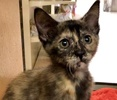 A picture of #ET02977: Dora The Exporer a Domestic Short Hair tortie