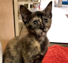[another picture of Dora The Exporer, a Domestic Short Hair tortie\ cat]