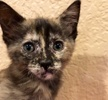 [picture of Dora The Exporer, a Domestic Short Hair tortie cat]