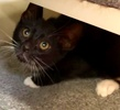A picture of #ET02979: Rajah a Domestic Short Hair black/white
