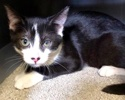 A picture of #ET02980: Abu a Domestic Short Hair white/black