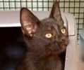 A picture of #ET02981: Aladdin a Domestic Short Hair black
