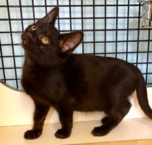[another picture of Aladdin, a Domestic Short Hair black\ cat]