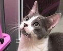 A picture of #ET02982: Mr Genie a Domestic Short Hair blue/white