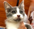 [picture of Mr Genie, a Domestic Short Hair blue/white cat]
