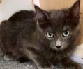 A picture of #ET02985: Jasmine a Ragdoll Mix blue