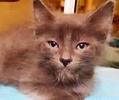 [picture of Jasmine, a Ragdoll Mix blue cat]