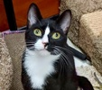 A picture of #ET02988: Luanna a Domestic Short Hair black/white