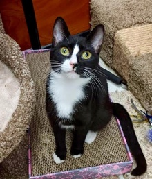 [another picture of Luanna, a Domestic Short Hair black/white\ cat]