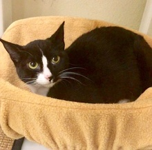 [picture of Luanna, a Domestic Short Hair black/white cat]