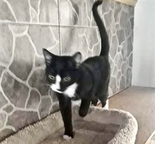 [picture of Luanna, a Domestic Short Hair black/white\ cat]