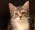 A picture of #ET02989: Frinkie a Domestic Medium Hair gray tabby/white