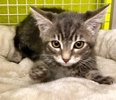 A picture of #ET02990: Fredo a Domestic Short Hair silver