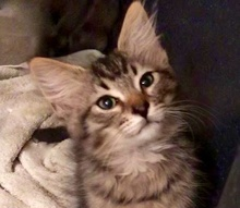 [picture of Fuzza, a Domestic Long Hair gray tabby\ cat]