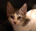 A picture of #ET02992: Fawno a Domestic Medium Hair white/gray tabby